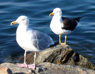 Gulls from the Arctic